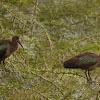 Olive ibises couple