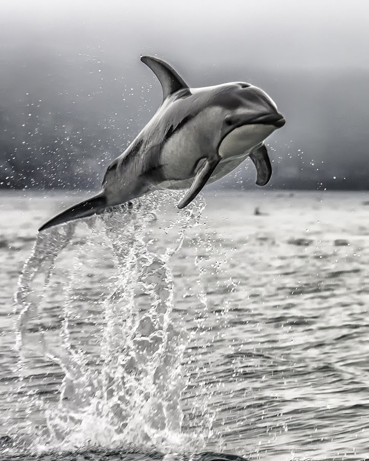 Wild Dolphin by Karen Celella - Animals Other Mammals ( dolphin, water, wild, animals, contests, fish, ocean, vancouver, , black and white, animal, sea creatures, underwater life, ocean life )