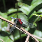 Red-Blue-and-Black Erythrodiplax