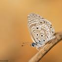 African Babul Blue