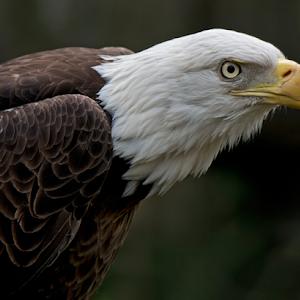 Bald Eagle 050.jpg