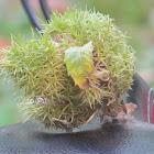 Chestnut Husk
