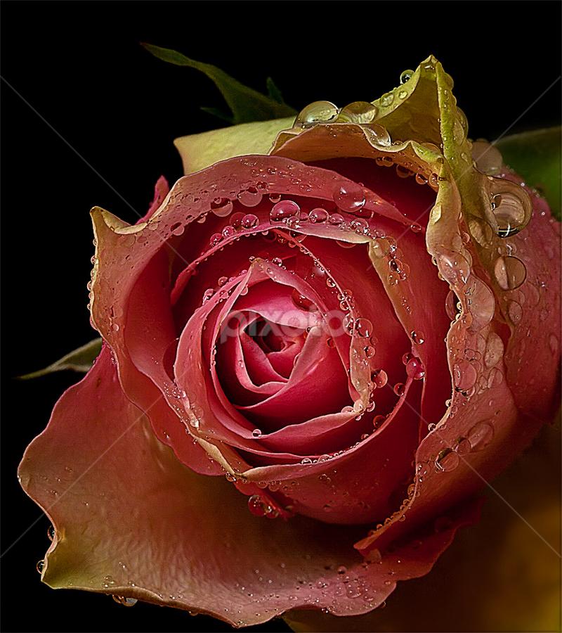 by Rudi Kleynhans - Flowers Single Flower (  )