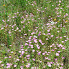 Meadow Pinks, Prairie Rose-gentian, Texas Star