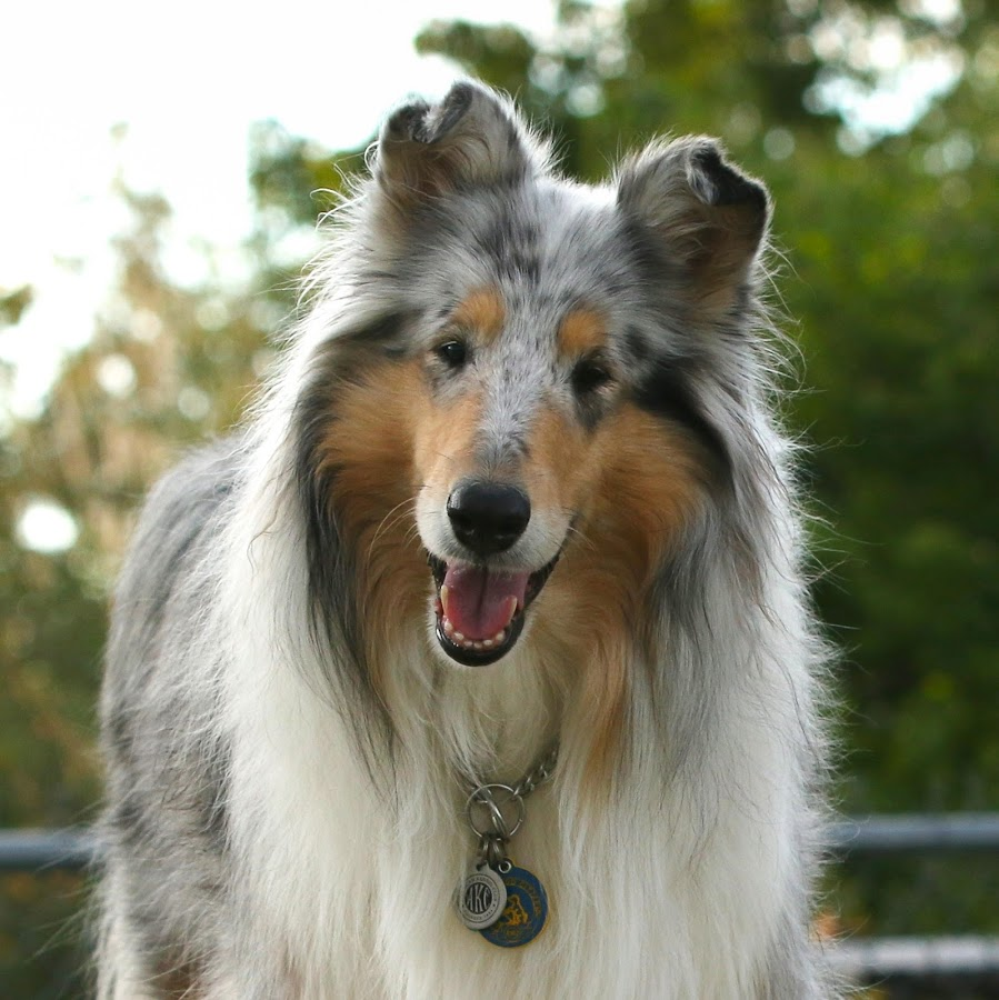 My Smiling Rayne by Karin Bennett - Animals - Dogs Portraits ( collie, dog park, rough collie, blue merle, rayne )