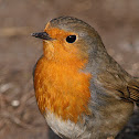 Petirrojo (European robin)