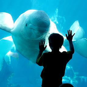 A close encounter by Chrysta Rae - Animals Sea Creatures ( water, beluga whale, beluga, aquarium, whale, boy at aquarium, seaworld )