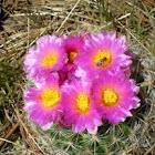 Ball Nipple Cactus