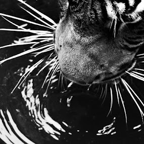 drink by Sid Viciouzly - Animals Lions, Tigers & Big Cats ( black and white, animal )