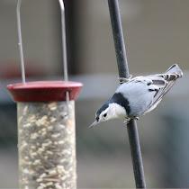 Backyard Birds in Wisconsin