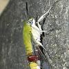 Coffee/Bee Hawk Moth