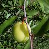 Wild plum- immature fruit