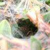 Tunnel web spider