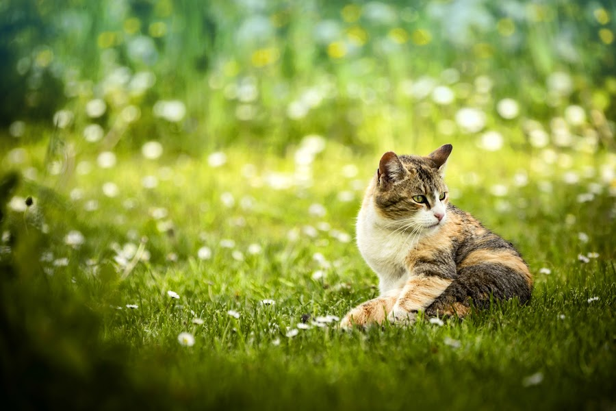 Little Poser by Mladen Bozickovic - Animals - Cats Portraits ( cat, grass, green, enjoy, cute, spring, nature, pet, outdoor, meadow, rest, flowers, springtime, animal )