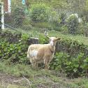 cabra común(es) domestic goat(en)
