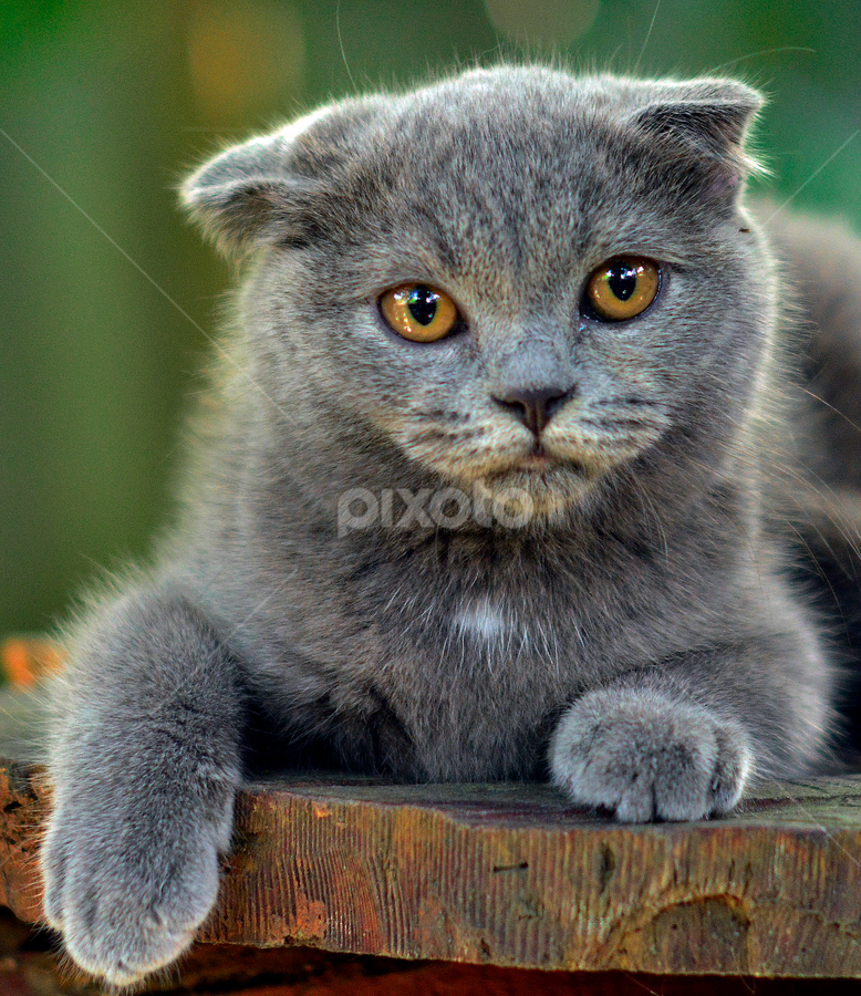 by Neni Wijaya - Animals - Cats Portraits ( cat, mygarden, cketing, animal )