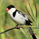 Pin-tailed whydah, male