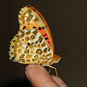 Indian Fritillary male
