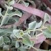 Atriplex halimus (Salao blanco)
