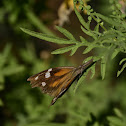 American Snout Butterfly