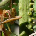 Praying Mantis (washing hands)