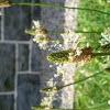 Ribwort Plantain/English Plantain/Narrowleaf Plantain