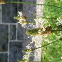 Ribwort Plantain/English Plantain/Narrowleaf Plantain