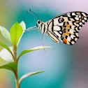 Lime swallowtail (Checkered swallowtail)