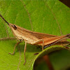 Tooth-legged Grasshopper