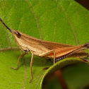 Tooth-legged Grasshopper