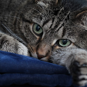 At ease by Luis Mendez - Animals - Cats Portraits ( cat, day dreaming, thinking, nap, rest,  )