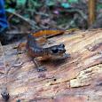 West Coast Amphibians