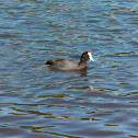 Red-nkobbed Coot