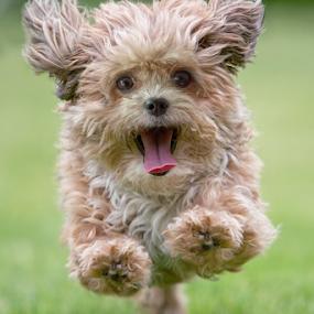 Hilarious by Michael Milfeit - Animals - Dogs Running ( bolonka, ausgelassen, hund, nele, hilarious, dog, running, bolonka zwetna,  )