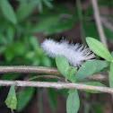 Dogbane Leaf Tiger Moth caterpillar?