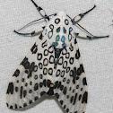 Giant Leopard Moth - Hodges#8146