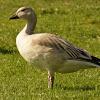 Snow Goose (white morph, juvenile)