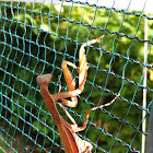 Mantide religiosa, prayer mantis