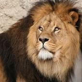 Lion iSlider slide Puzzles
