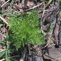 Suckering Australian-pine
