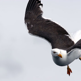 Ho! Ho! by Jonguy Demontigny - Animals Birds