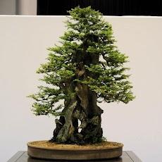 盆栽の木のおすすめ画像4