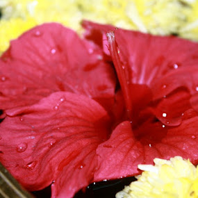 Blossoming Red! by Kadhiravan Umasankar - Novices Only Flowers & Plants ( water, red, drops, garden, blossom, flower,  )