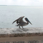 Brown Pelican (Caribbean)