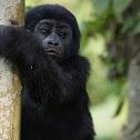 Mountain Gorilla (Juvenile)