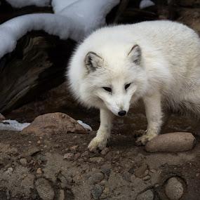 White fluff by Dale Versteegen - Animals Other ( fox, stalk, white, arctic,  )