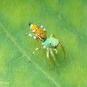 Cosmophasis Spider