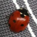 Seven spot ladybird/bug