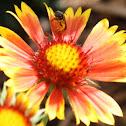 Gallardia Mexican blanket flower