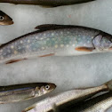 Small Trout and Smelts